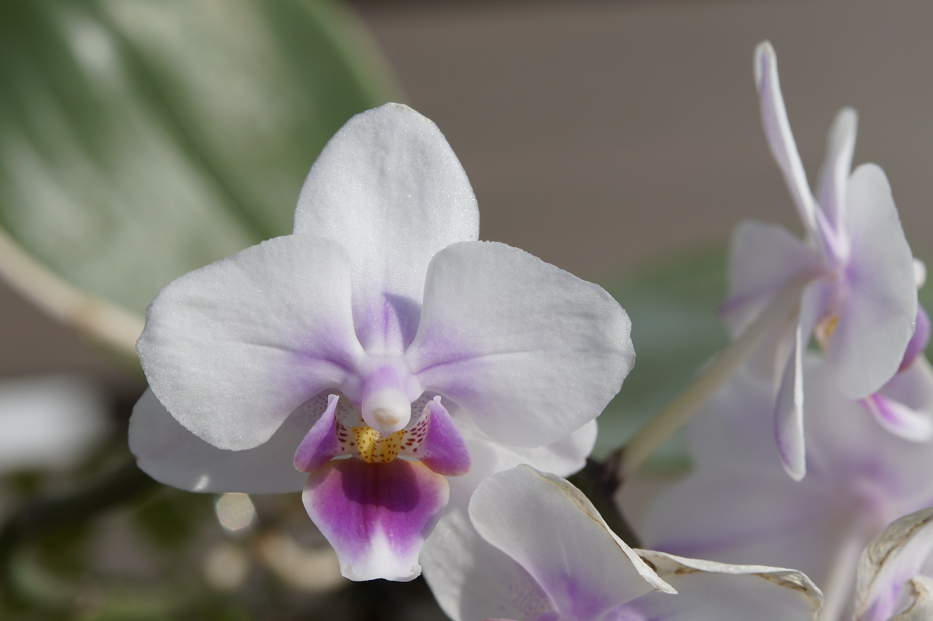 valentine orchid, houseplant care, potting soil, indoor plants