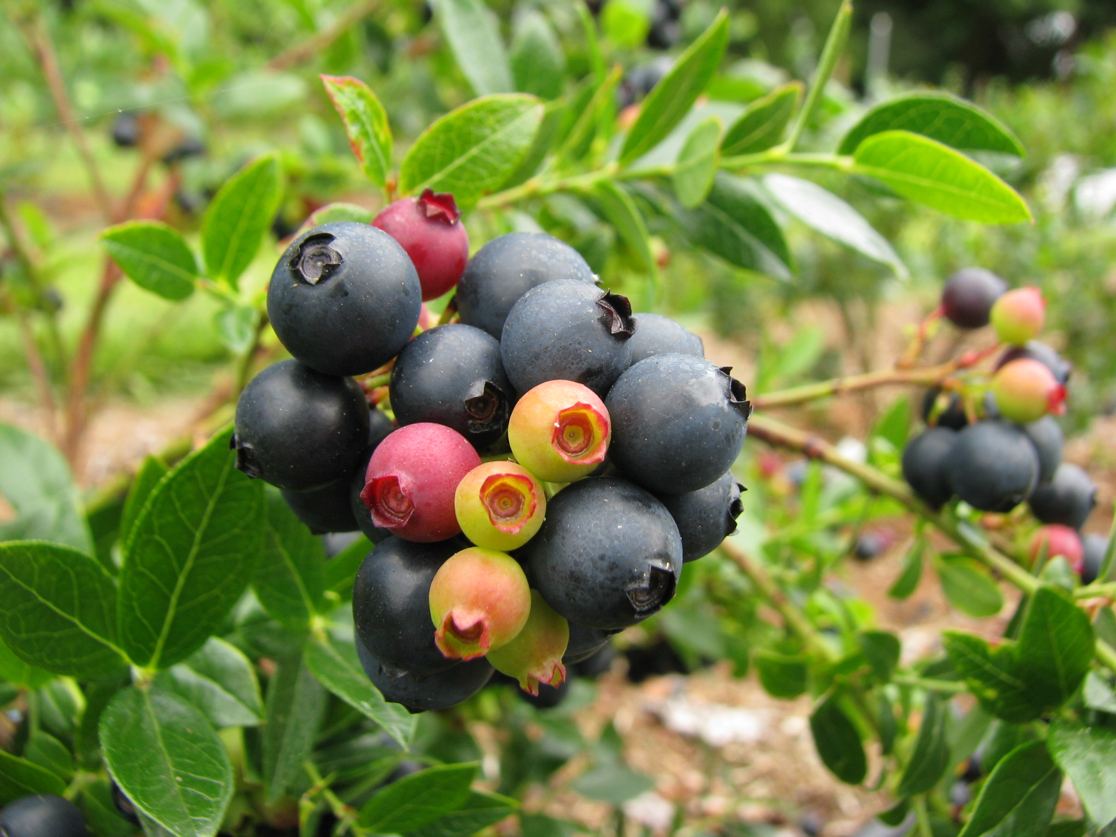 Espoma soil acidifier, Holly-tone, growing blueberries