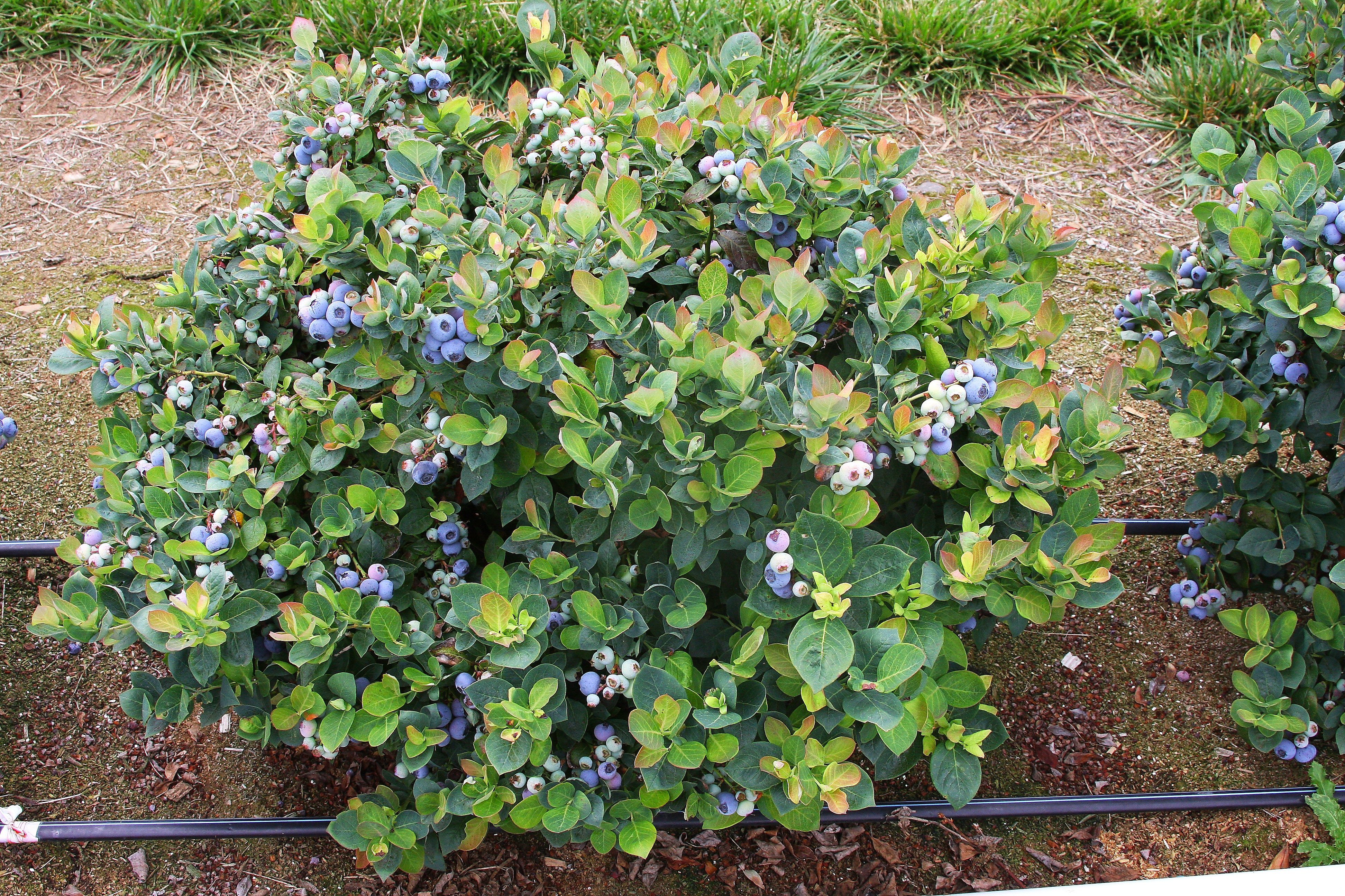 Espoma soil acidifier, Holly-tone, growing blueberries, Brazelberries Peach Sorbet