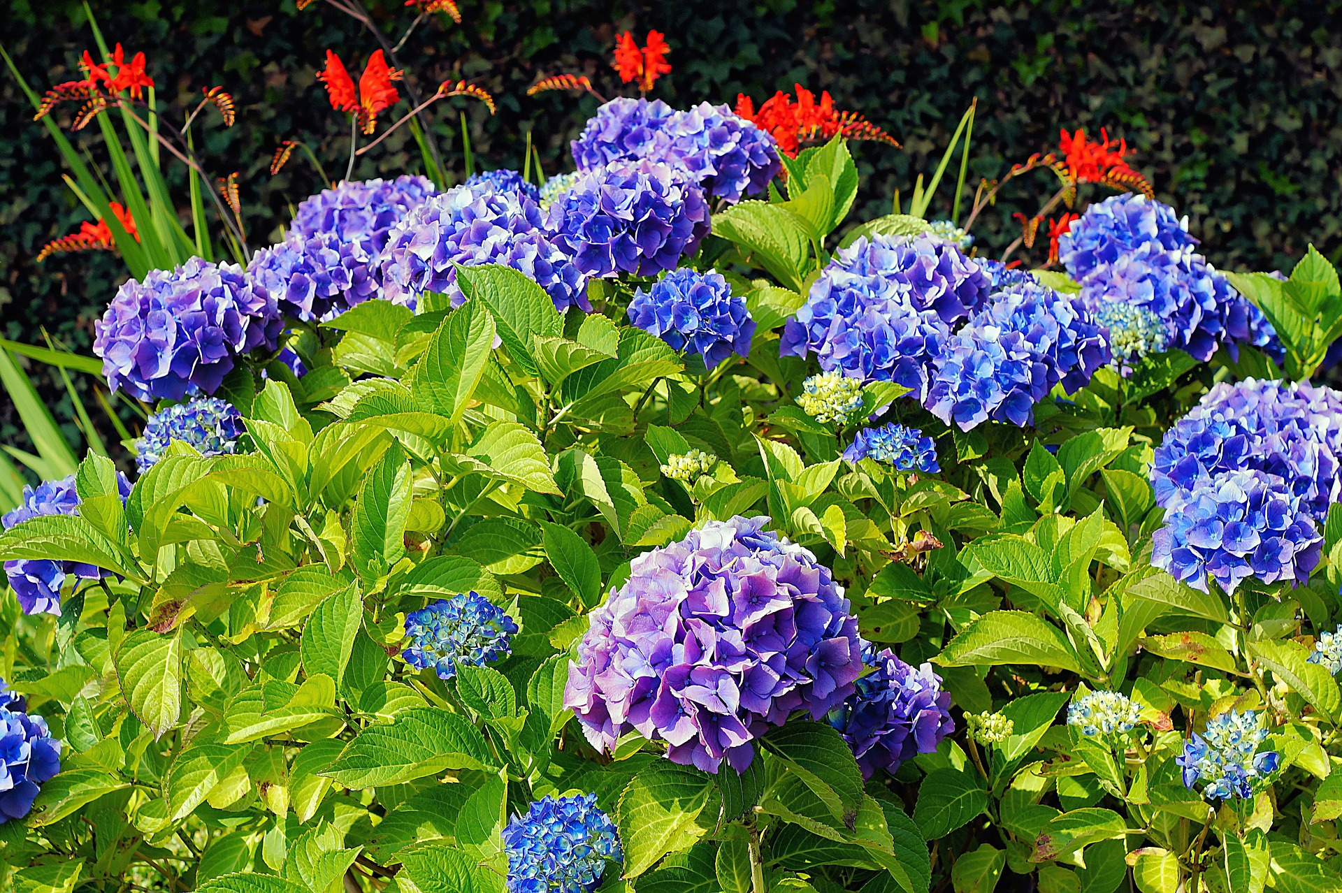 hydrangea care, hydrangea color, growing hydrangas