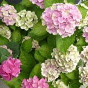 Care for hydrangeas by planting them in the right spot.