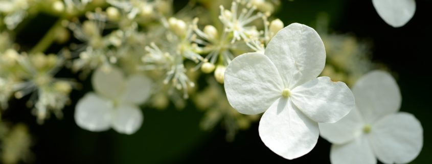 Here's how to easily fix those common hydrangea problems.