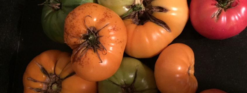 Tomatoes split open when the fruit outpaces the growth of the skin — usually after a heavy rain.