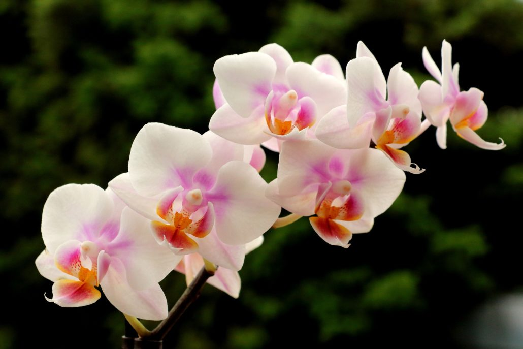 picking and caring for orchids espoma